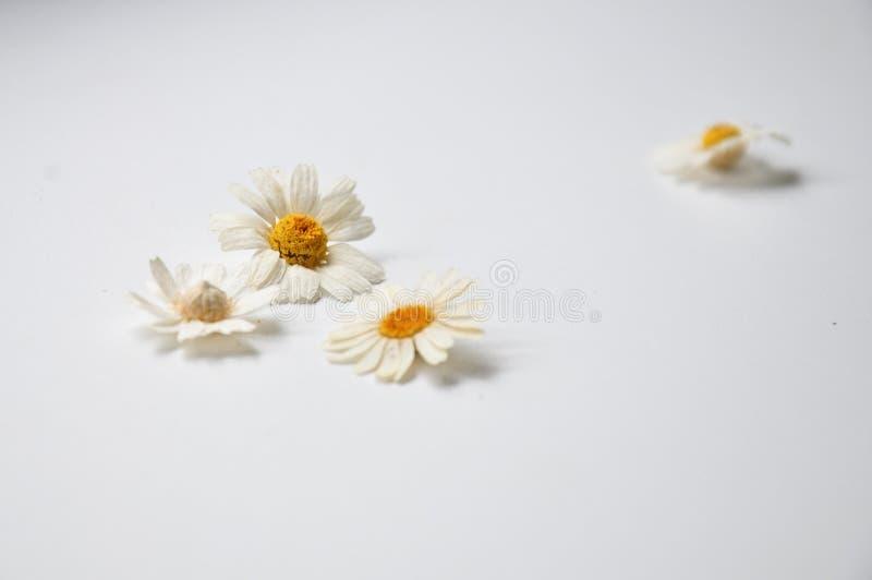 les marguerites se trouvent sur une table blanche photographie stock
