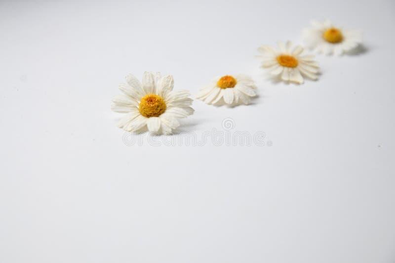 les marguerites se trouvent sur une table blanche photo stock