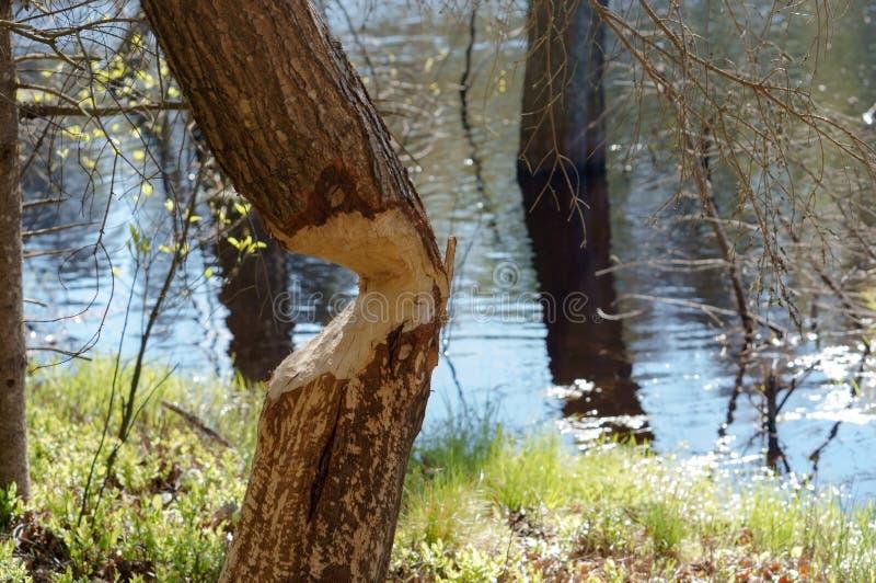 Les marques de dents de castor sur un tronc d'arbre, arbre rong? par le castor image stock