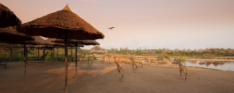 Les masses des girafes marchent ensemble pour autoguider là à l'heure du coucher du soleil image libre de droits
