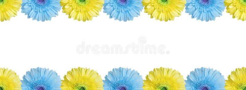 Les moitiés bleu clair et jaune gerbera bordent les fleurs sur fond blanc isolé près, demi-gerber fleur uniforme motif photographie stock