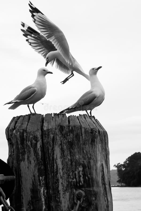 Les mouettes étaient perché sur un courrier à un quai dans Whitianga, Nouvelle-Zélande images libres de droits