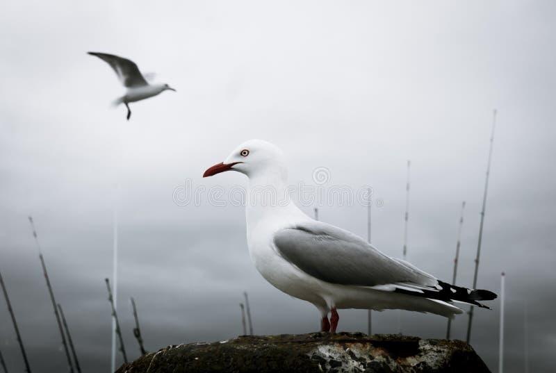 Les mouettes étaient perché sur un courrier à un quai dans Whitianga, Nouvelle-Zélande photographie stock libre de droits