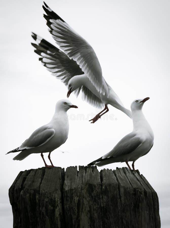 Les mouettes étaient perché sur un courrier à un quai dans Whitianga, Nouvelle-Zélande photo stock