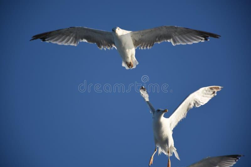 Les mouettes blanches au-dessus de la mer photographie stock