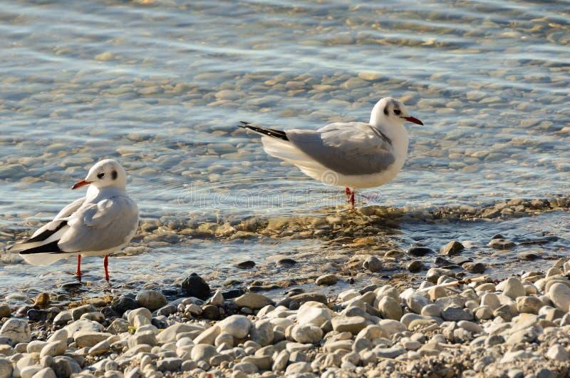 Les mouettes nettoient sur un lac à une plage en pierre 15 images stock