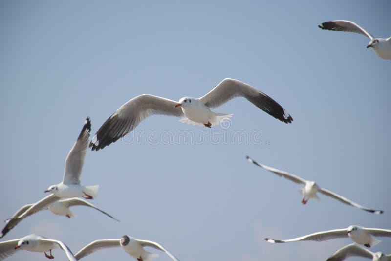 Les mouettes ont la liberté volante dans le ciel images libres de droits