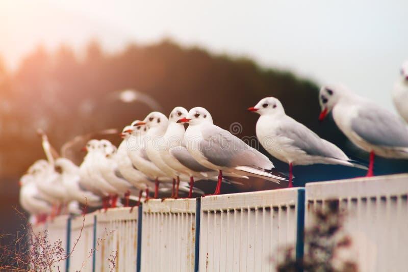 Les mouettes les prennent un bain de soleil sur les barrières image libre de droits