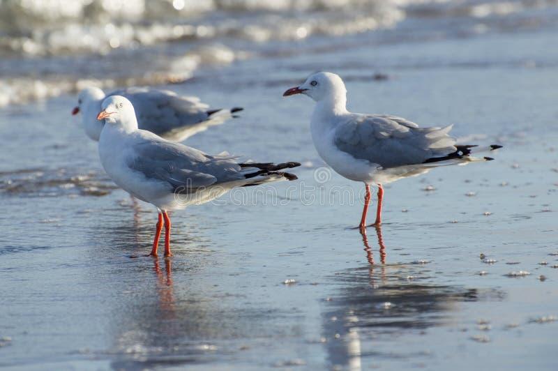 Les mouettes se ferment sur la plage Shoreline à l'été photo stock