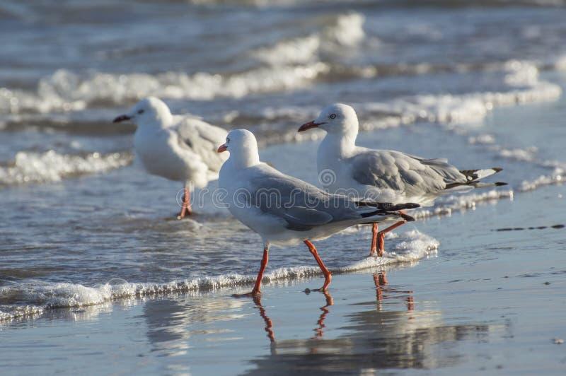 Les mouettes se ferment sur la plage Shoreline photo libre de droits