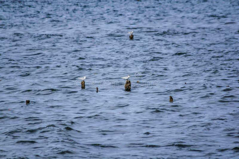 Les mouettes sont sur les poteaux en bambou dans l'eau photographie stock