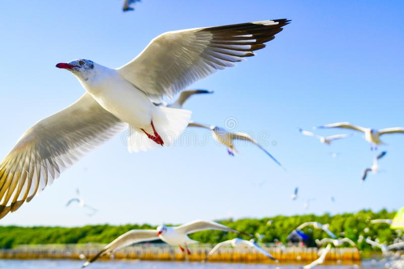 Les mouettes volent comme elles font un airshow photos libres de droits