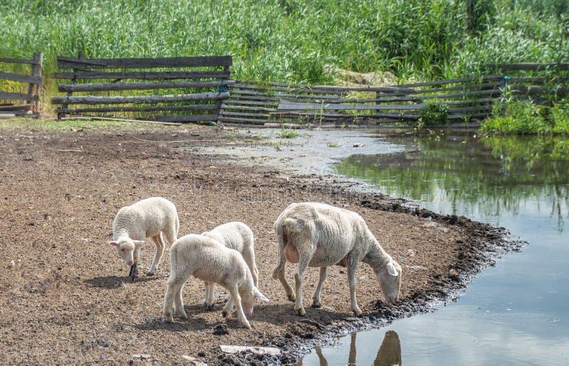Les moutons avec du lait dans la mamelle et deux petits agneaux boivent l'eau images stock