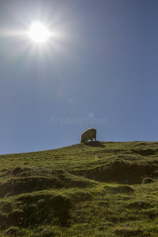 Les moutons câblent la victoire facile de baie, Nelson, Nouvelle-Zélande photographie stock libre de droits