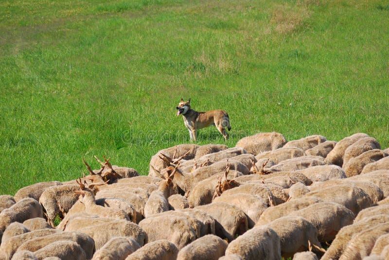 Les moutons de Racka vivent en troupe, stationnement national de Hortobagy, Hongrie photographie stock libre de droits