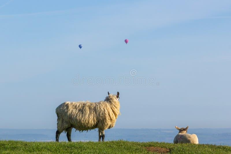 Les moutons de repos observant les ballons à air chauds volent après la colline de Dovers avec un ciel bleu clair photographie stock