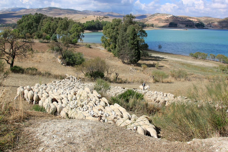 Les moutons de witd de berger s'approchent du lac en Andalousie photo libre de droits
