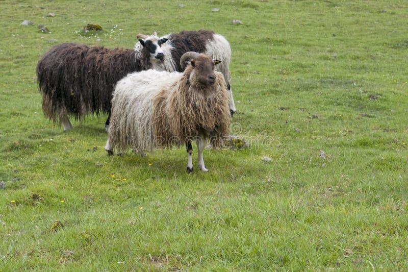 Les moutons enfoncent dans le paysage lointain d'île d'oer de faer images stock