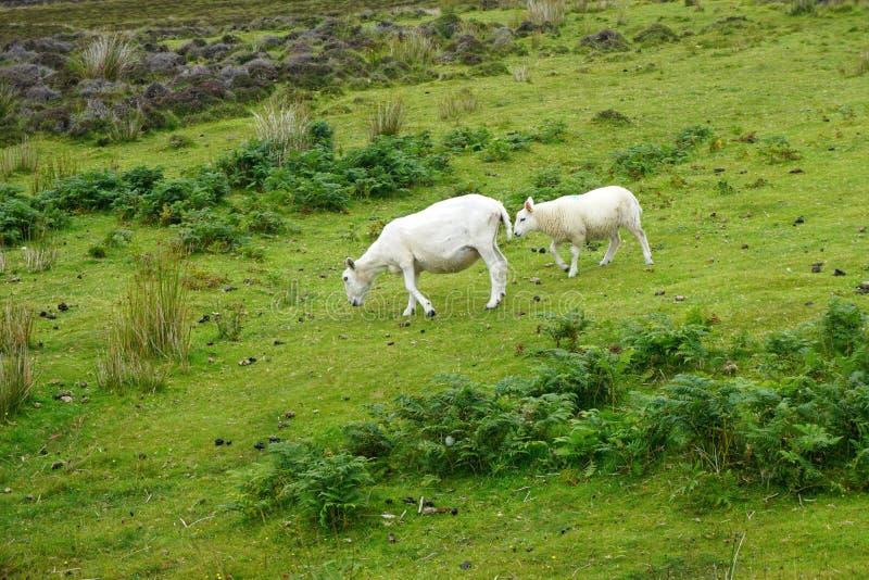 Les moutons frôlent sur un flanc de montagne rocheux en Ecosse rurale images stock