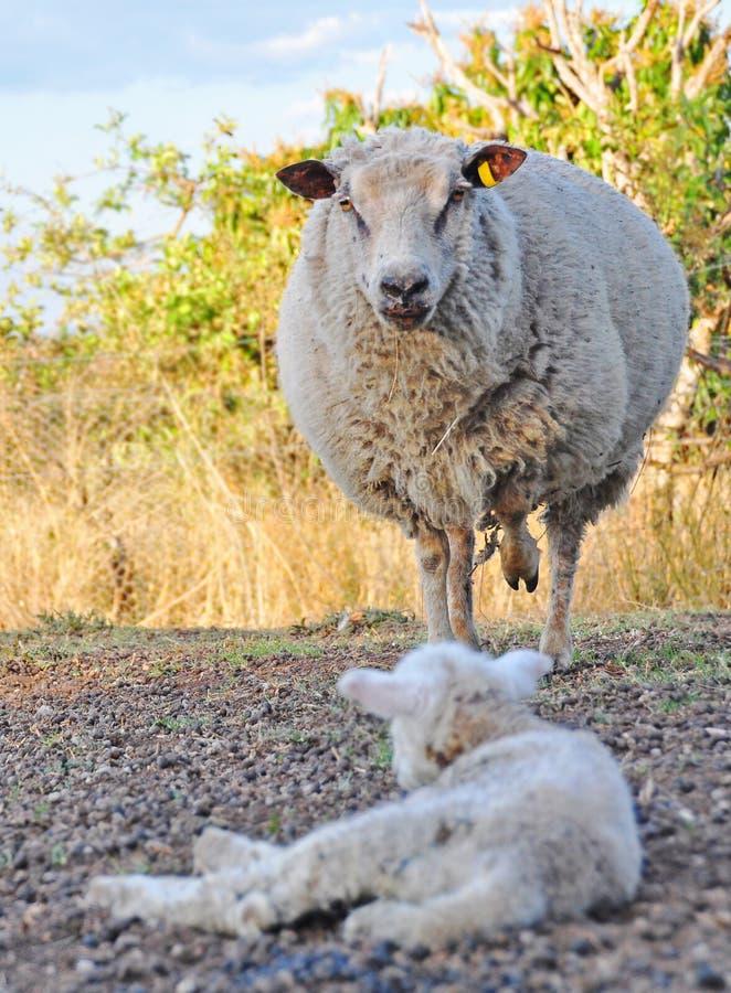 Les moutons mérinos fâchés de brebis protégeant sa chéri agnellent image libre de droits