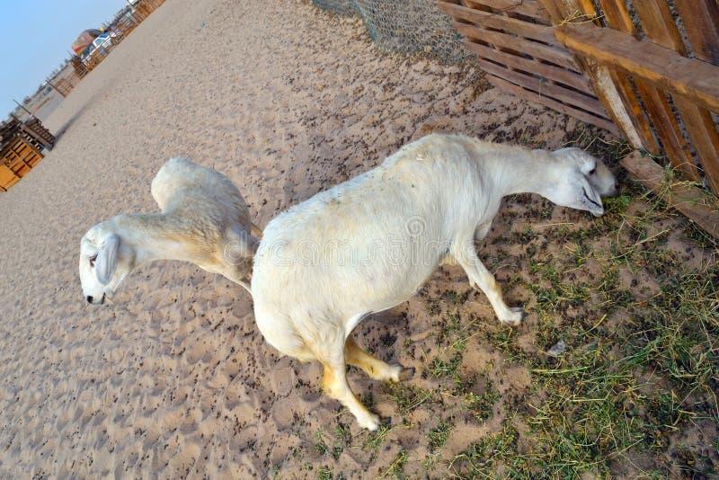 Les moutons mangent le vert d'herbe près de la frontière de sécurité photographie stock