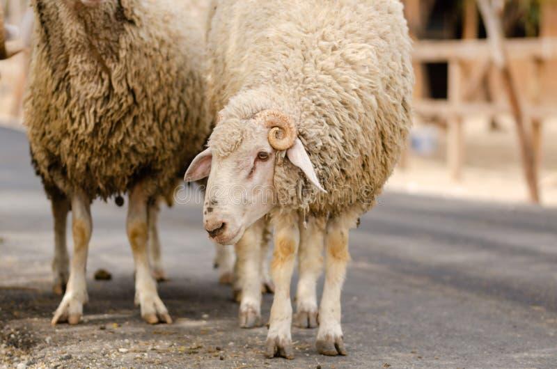 Les moutons masculins avec des klaxons photos stock