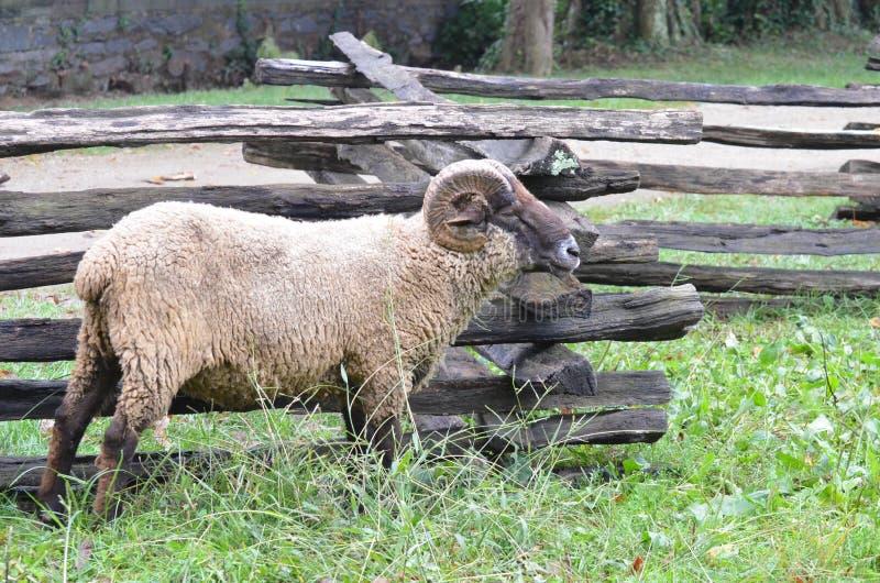 Les moutons s'approchent de la barrière image stock