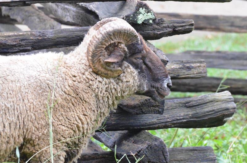 Les moutons s'approchent de la barrière 2 image stock