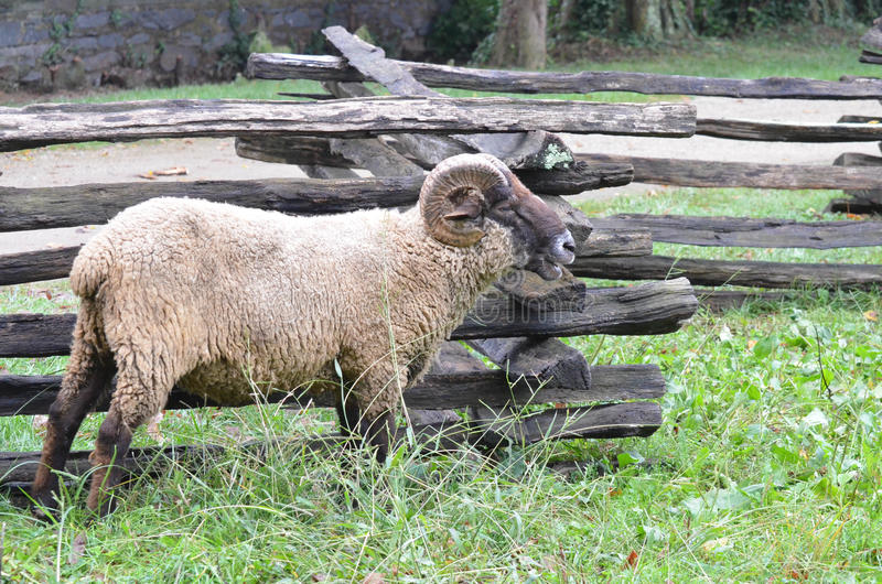 Les moutons s'approchent de la barrière 3 photographie stock libre de droits