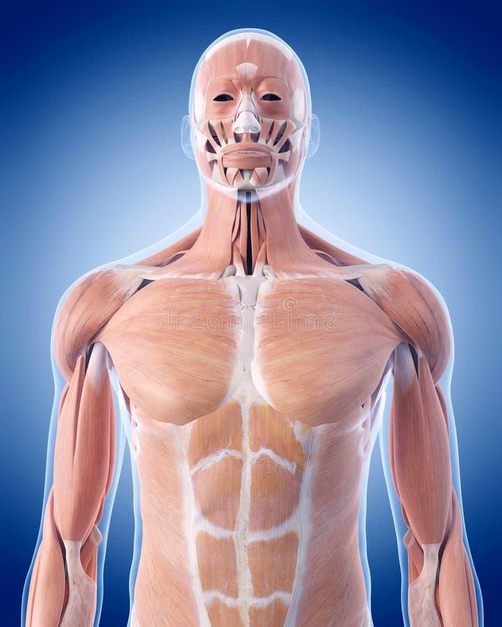Les muscles de corps supérieur illustration libre de droits