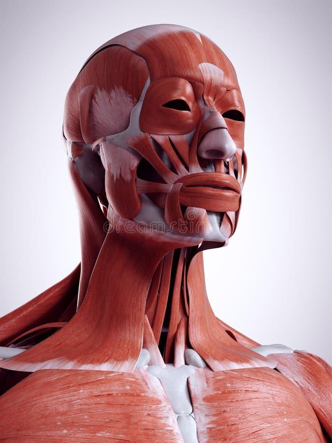 Les muscles de tête et de cou illustration de vecteur