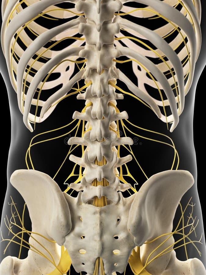 Les nerfs abdominaux illustration libre de droits