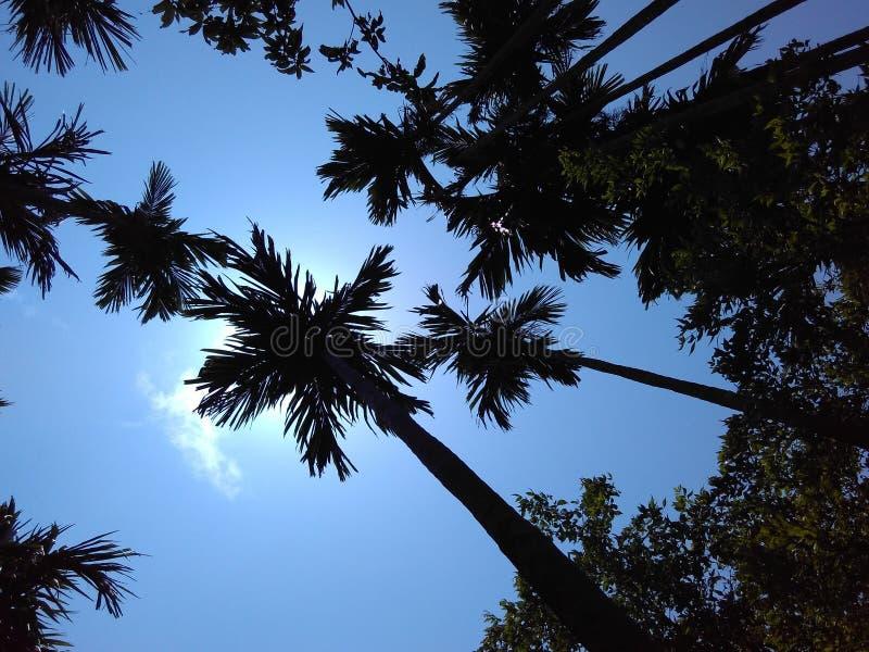 Les noix de bétel plantent dans le rayon avant du soleil photos stock