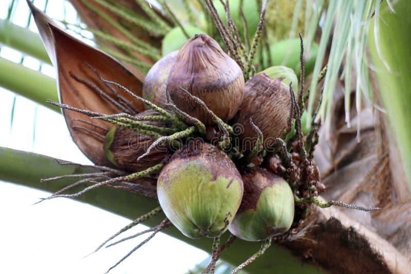 Les noix de coco putréfiées sur l'arbre, cocotier est putréfiée, jeune putréfaction de noix de coco dans la plantation de jardin, photo stock