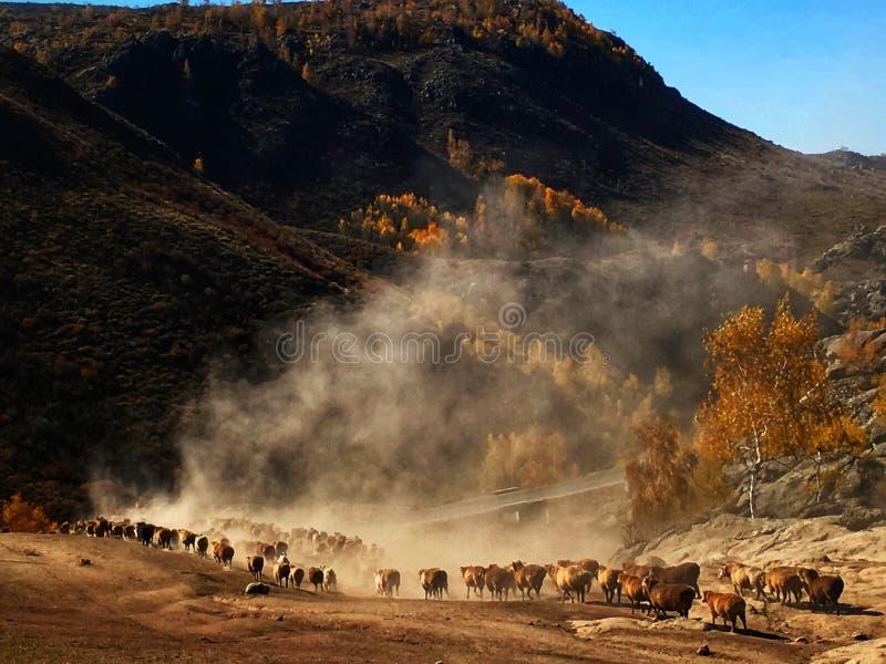 Les nomades kazakhs vivent en troupe des moutons et des bétail photos libres de droits