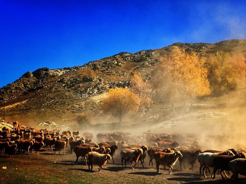 Les nomades kazakhs vivent en troupe des moutons et des bétail photographie stock