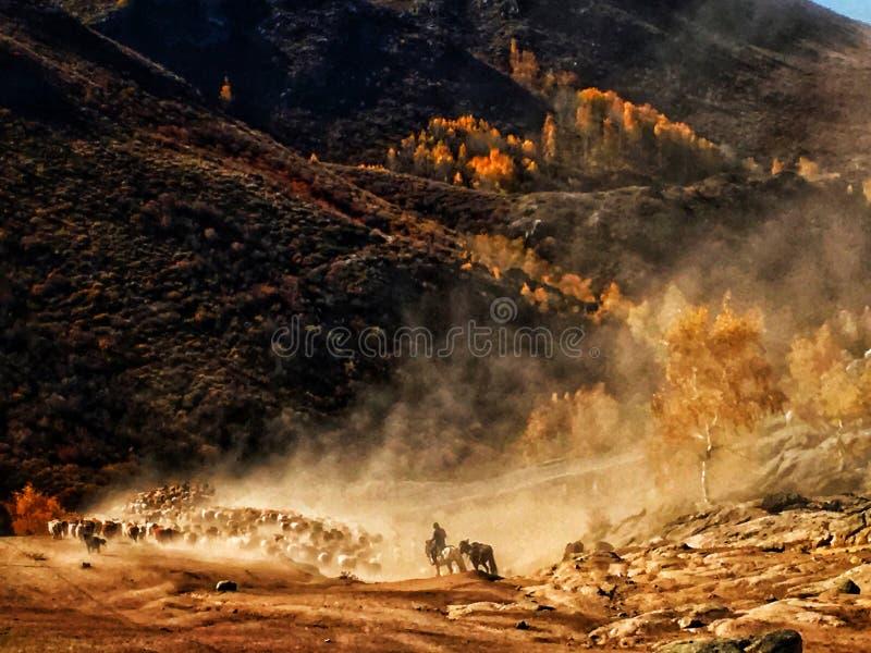 Les nomades kazakhs vivent en troupe des moutons et des bétail photos stock