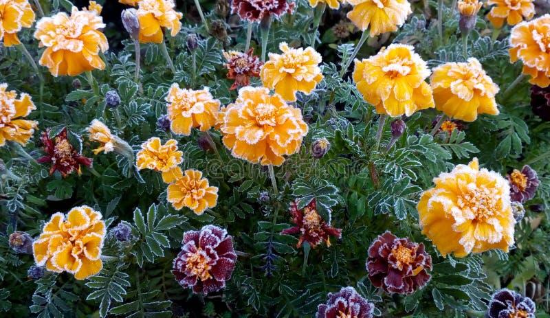 Les oeillets de lit de fleur couverts d'hiver de gel est venus photographie stock libre de droits