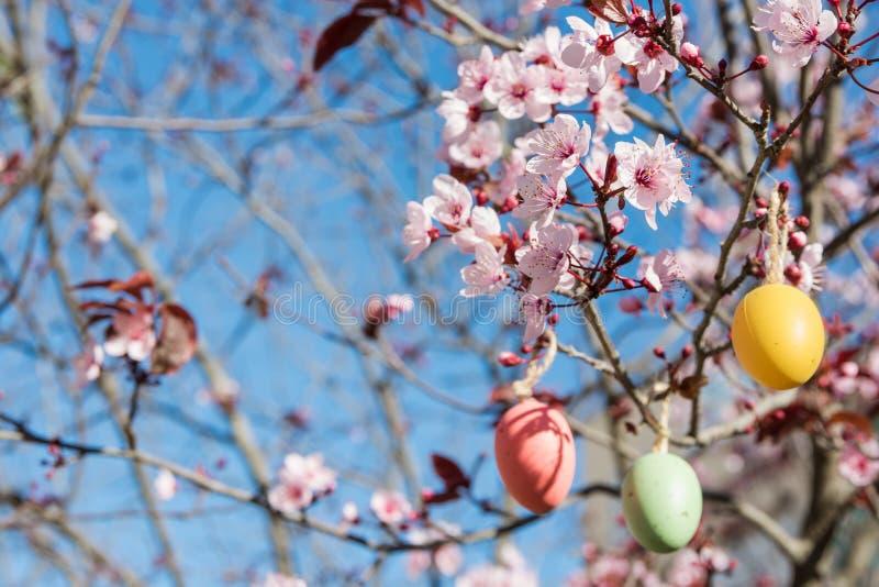 Les oeufs de pâques décoratifs accrochant sur Sakura s'embranchent avec la fleur tendre, ciel bleu lumineux, lumière du soleil photos stock