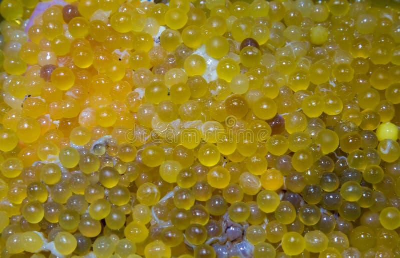 Les oeufs de poisson-chat d?gagent des oeufs de poisson-chat Les oeufs de poisson oranges de cari et les thailandais de personnes photographie stock
