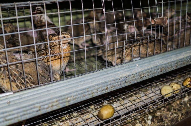 Les oeufs frais de caille pondus par des cailles ont juste déroulé de la cage dans la gouttière photo stock
