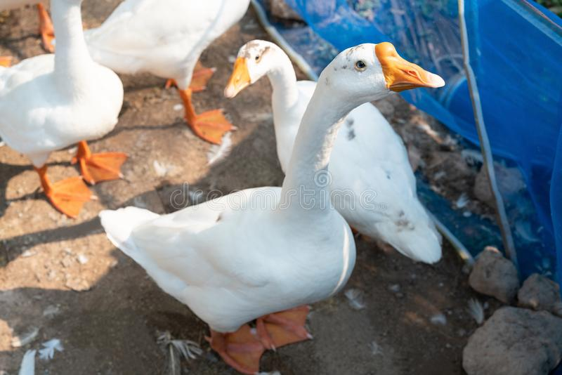 Les oies blanches regarde d'un air interrogateur la caméra images libres de droits