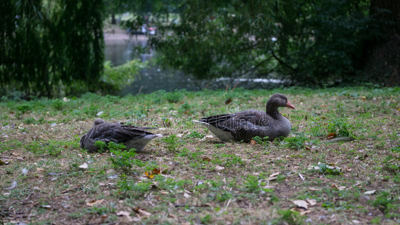 Les oies cendrées appareillent/anser d'Anser se trouvant sur l'herbe se reposant avec le lac à l'arrière-plan image libre de droits