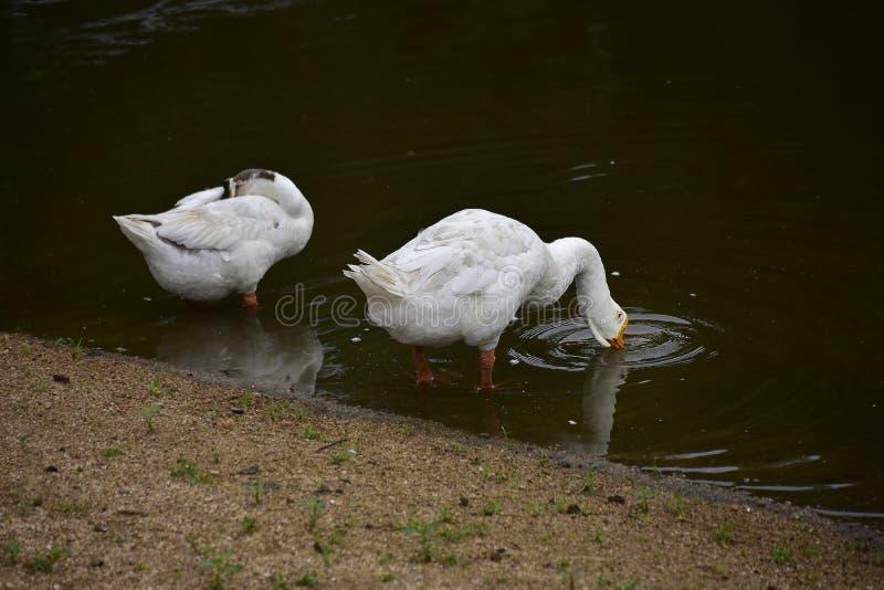 Les oies mangent dans la piscine Regarde beau, naturel images libres de droits