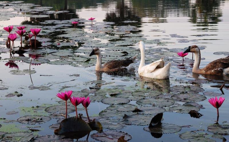 Les oies nagent dans l'étang parmi les fleurs de lotus La surface de l'eau est couverte de feuilles de lotus images libres de droits
