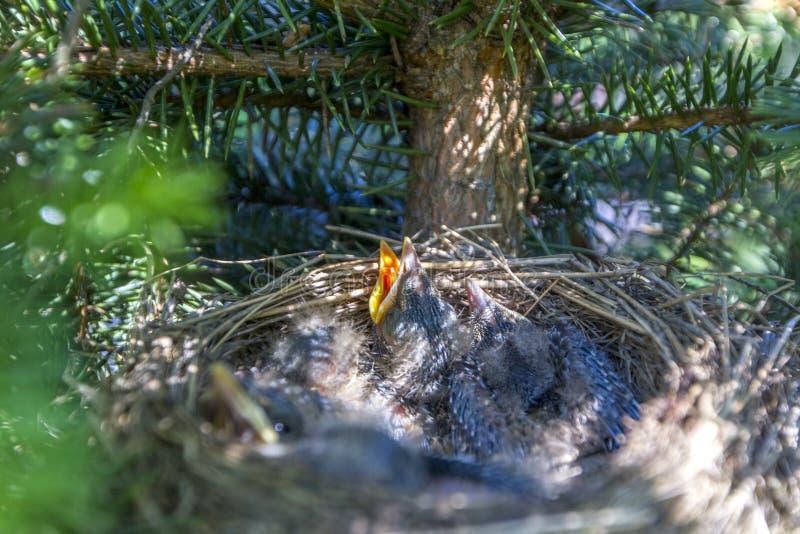 Les oiseaux de bébé dans le nid avec des bouches s'ouvrent photos stock