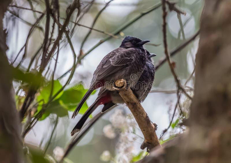 Les oiseaux indiens le rouge ont exhalé des paires de Bulbul tirées dans leur environnement naturel photo libre de droits