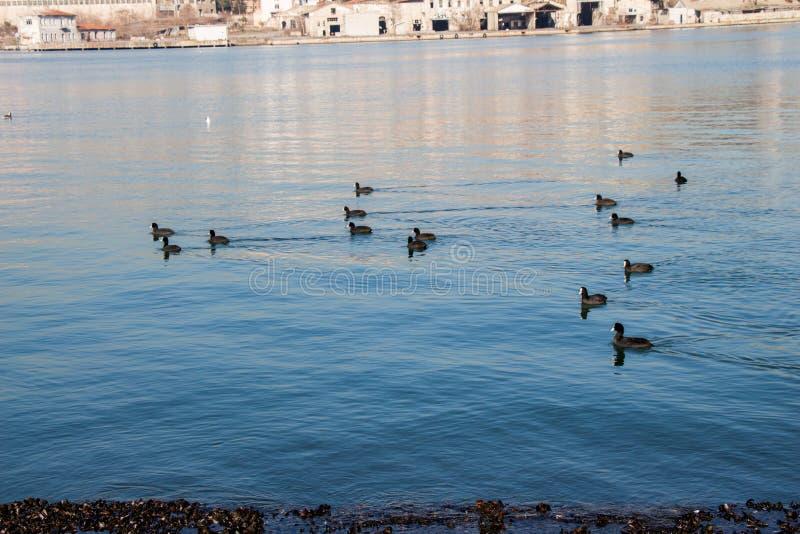 Download Les Oiseaux Nagent Calmement Sur La Surface De Mer Image stock - Image du cormorans, animal: 87700653