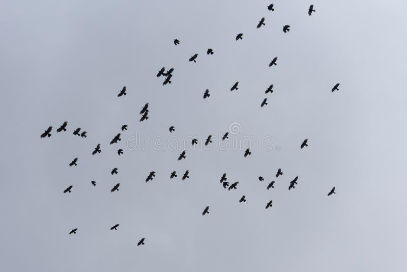 Les oiseaux noirs en vol en ciel photographie stock libre de droits