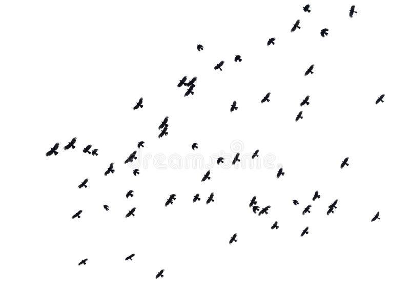 Les oiseaux noirs en vol en ciel photos libres de droits